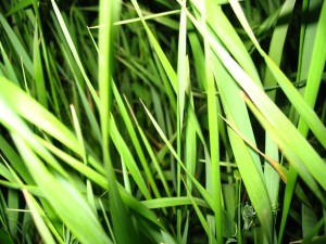bermuda grass vs st augustine